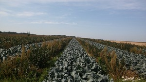 A field with alternating broccoli and aronia rows